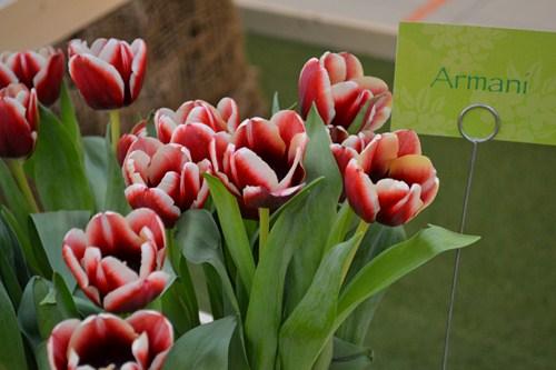 Tulipán 2
