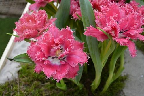 Tulipán 4