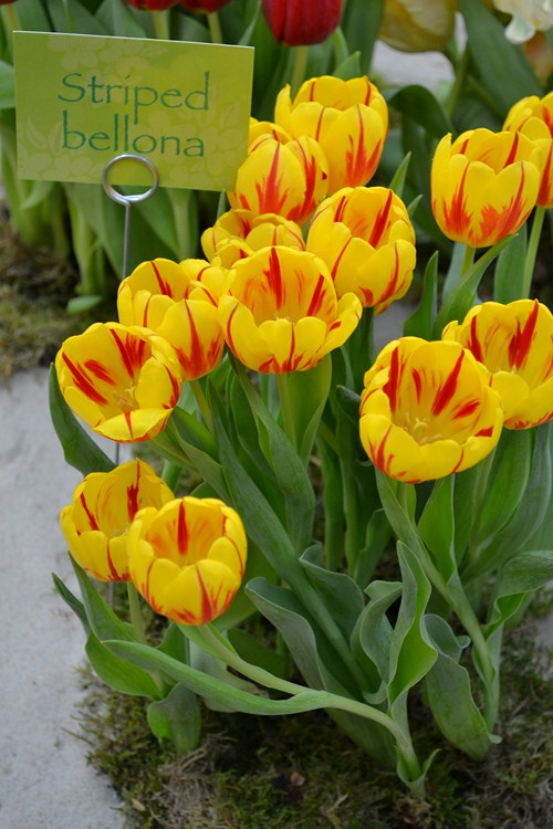 Tulipán 8