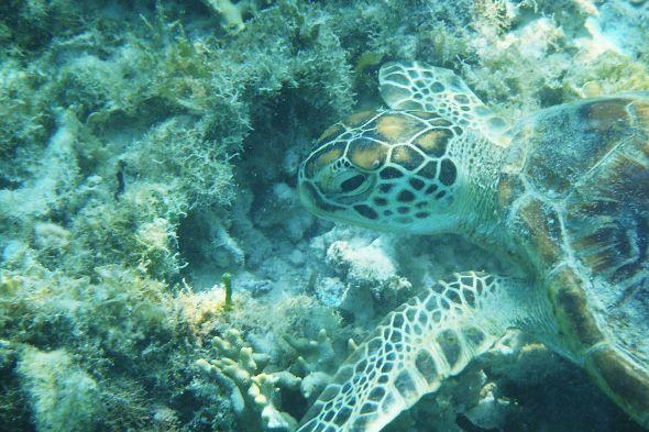 mořská želva v moři