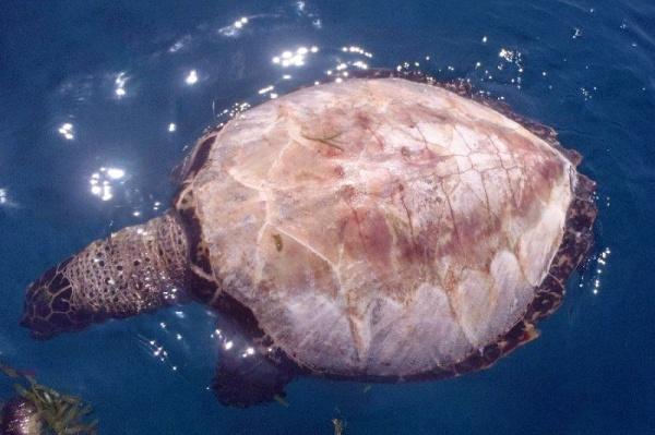 mořská želva bez krunýře